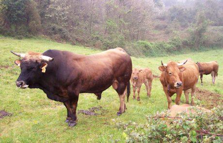 Rebaño de vacas asturianas de los valles