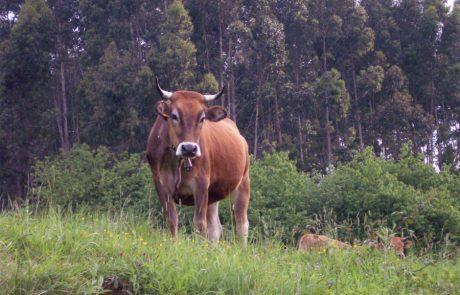 Vaca Asturiana de lso valles
