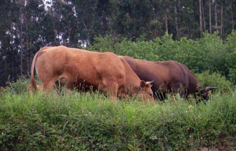 Vaca Asturiana de lso valles, Colunga