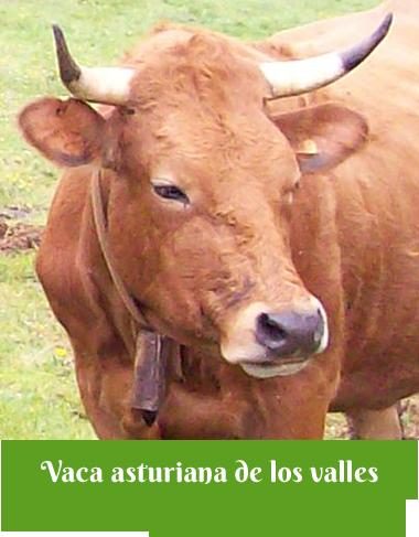 Vaca asturiana de los Valles